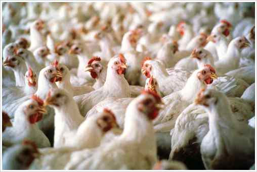 Poultry Farming| A long-term reliable business